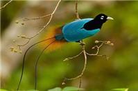 Có được bảo hộ bản ghi âm tiếng chim hót không?